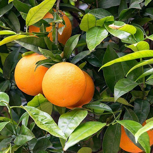 Rūgtā apelsīna (Petitgrain) ēteriskā eļļa