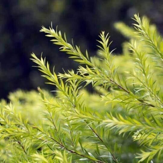 Tējas koka ēteriskā eļļa